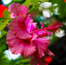 Stunning Double Deep Carmine Pink  Hibiscus Rosa-sinensis Evergreen Hibiscus Mrs George Davis Blooming In Autumn With Large Petals Contrasted Against Green Foliage Adds Decorative Charm To A Garden.