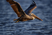 Brown Pelican, Scientific Name...