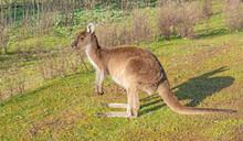 Western Grey Kangaroo In Profile