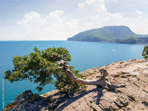Fotografía Old juniper tree growing on steep rock against the sea