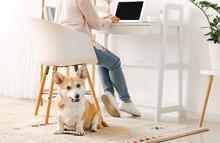 Woman With Cute Corgi Dog Work...
