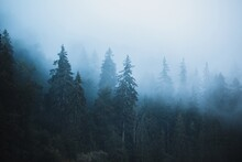 Misty Landscape With Fir Fores...