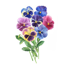 Bouquet Of The Blue Garden Tricolor Pansy Flower (Viola Tricolor, Viola Arvensis, Heartsease, Violet, Kiss-me-quick) Hand Drawn Botanical Watercolor Painting Illustration Isolated On White Background