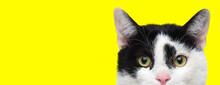 Focused Domestic Cat Looking F...