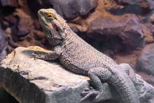 Central Bearded Dragon (pagona...