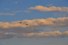 Pelicans Flying Overhead On A Cloudy Blue Sky