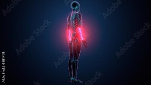 3d illustration of human skeleton system radius and ulna bone Canvas Print