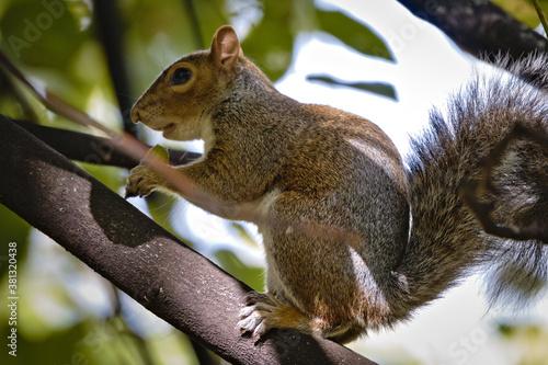 Wild eastern gray squirrel (Sciurus carolinensis) eating an acorn on a tree in t Wallpaper Mural