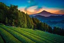 Mt. Fuji With Green Tea Field ...