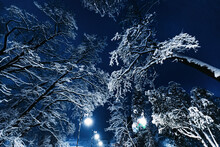Tall Trees Covered With Snow O...