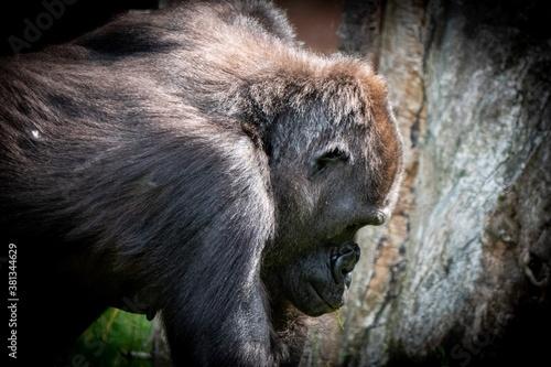 Cuadros en Lienzo portrait of a gorilla in the zoo