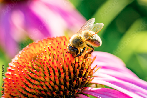 Foto Field of echinacea flowers with honey bee close-up