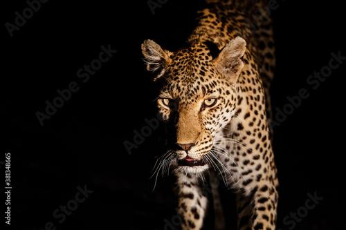Cuadros en Lienzo Leopard searching for prey in Sabi Sands Game Reserve in the Greater Kruger Regi