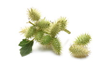 Green Burdock Plant And Leaves...