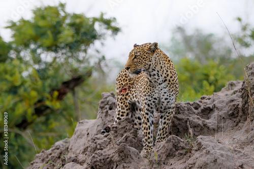 Fotomural Leopard searching for prey in Sabi Sands Game Reserve in the Greater Kruger Regi