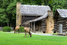 Elk Graze In Front A Historic Log Cabin In The Great Smoky Mountains National Park. This Structure Is Located Within The Park And Not A Privately Owned Property.
