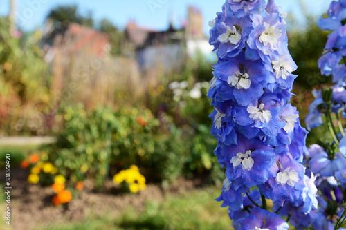 Fotografía Blue delphinium blooms with white centres in a sunny garden