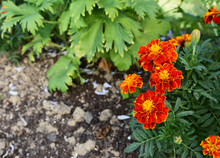 Red And Yellow French Marigolds With Dark Green Foliage