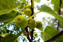 Fruit: Detail Figs On Tree