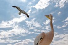 Pelikan Blickt Auf Anfliegende...