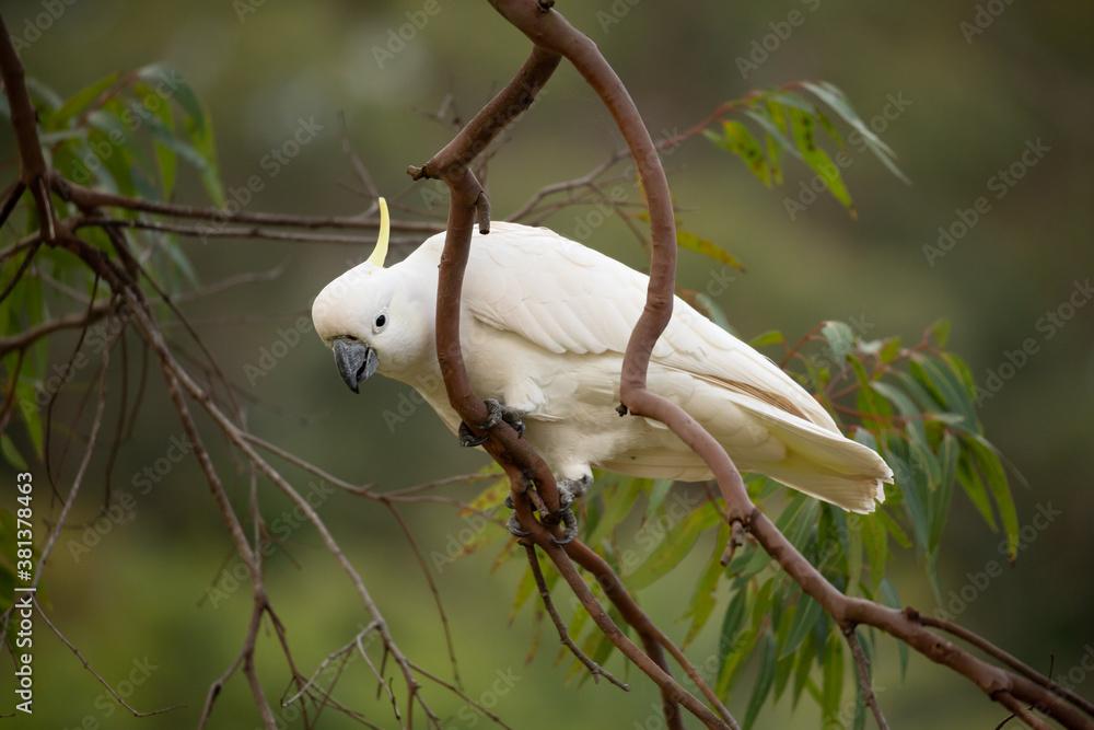 Fototapeta Sulphur crested cockatoo on a gum tree in bush land