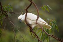 Sulphur Crested Cockatoo On A ...