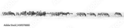 Fotografie, Obraz Zebras herd white background isolated, black and white art border, striped anima