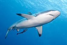 Black Tip Shark From Below On ...