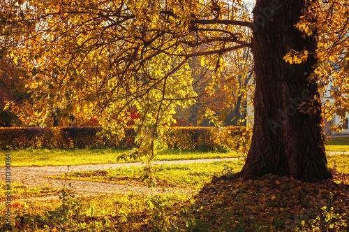 Fototapety, obrazy: Autumn landscape. Autumn trees with yellow foliage in the city October park, sunny autumn nature