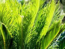 Cyca Leaves Full Sun At Garden