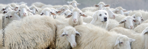 Fotografie, Obraz Dare to be Different Dog and Sheep