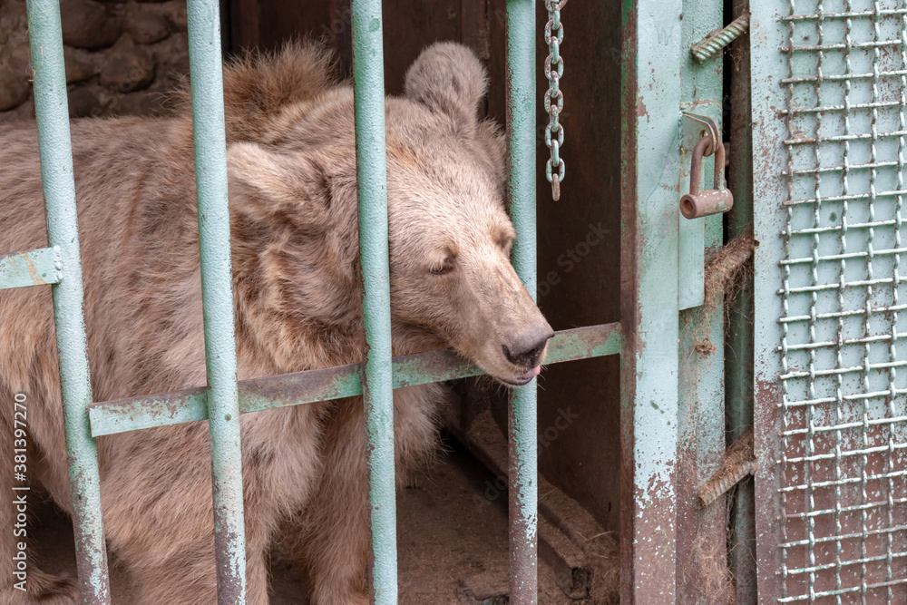 Hungry, weak and sick bear locked in a cage behind a metal bars, rods and wants to go home, rescue of wild animals in captivity
