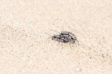 Oblique-lined Tiger Beetles (Cicindela Tranquebarica) Copulating On A Sandy Lake Bed In Colorado