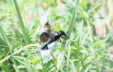 An Adult Male Widow Skimmer (L...