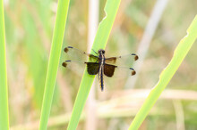 An Adult Female Widow Skimmer (Libellula Luctuosa) Dragonfly Perched On Green Vegetation Near A Marsh In Colorado