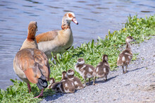 A Family Of Egyptian Geese Pre...
