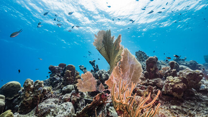 Seascape in turquoise water of coral reef in Caribbean Sea / Curacao with Sea Fan / Gorgonian Coral, fish and sponge
