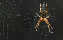 Spider In A Large Web In The S...