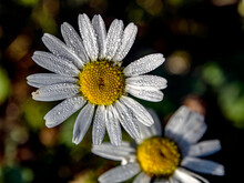 Camomile Flower With Small Dro...