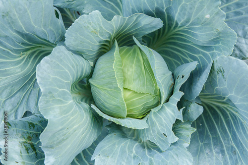 Obraz na płótnie Fresh organic headed cabbage with leaves. Natural and safety food