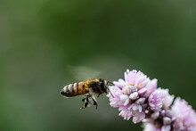A Bee Carrying Pollen