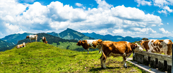 cow at the kranzhorn mountain in austria