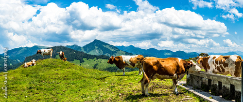 Foto cow at the kranzhorn mountain in austria
