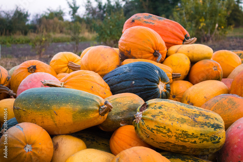Fotografía A group of multicolored pumpkins in garden on the ground after harvest