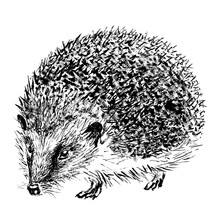 Hedgehog Hand-drawn With Black...