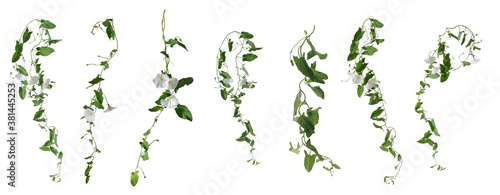 Fotografía Few stems of bindweed with white flowers and green leaves at various angles on w