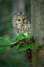 Ural Owl, Strix Uralensis, In ...