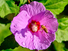 Honey Bee Flies Up To A Hibisc...