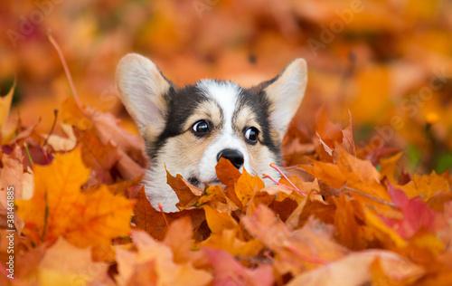 Fototapeta puppy face peeking out of yellow autumn leaves obraz