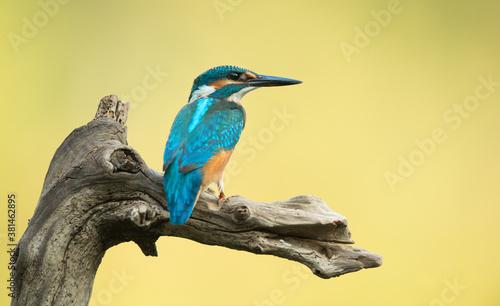 Foto Eisvogel alcedo atthis kingfisher